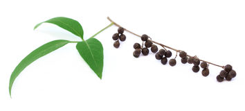 Vitex Negundo or Medicinal Nishinda Stock Image