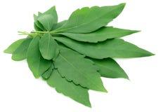 Vitex Negundo or Medicinal Nishinda leaves Royalty Free Stock Photos