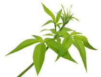 Vitex Negundo or Medicinal Nishinda leaves Royalty Free Stock Images