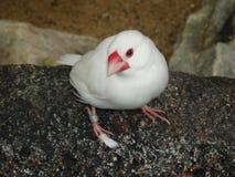 Vitfågel Arkivbild