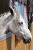 Vithäst i stall Royaltyfria Foton