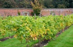 Viti che crescono nel giardino murato inglese Immagini Stock Libere da Diritti