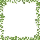 Viti dell'edera con le foglie verdi Struttura rettangolare di vettore floreale isolata su fondo bianco illustrazione vettoriale