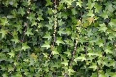 Viti dell'edera verde Fotografie Stock Libere da Diritti