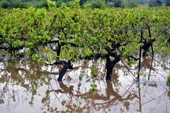 Viti dell'inondazione Fotografie Stock Libere da Diritti