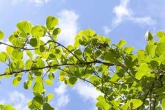 Viti di kiwi Fotografie Stock