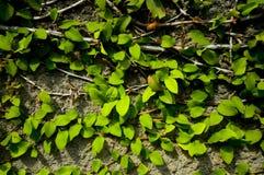 Viti e foglie contro un muro di cemento fotografia stock