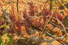 Viti ed uva infettate parassita della muffa Fotografia Stock