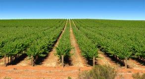 Viti nelle righe sull'azienda agricola Immagine Stock Libera da Diritti