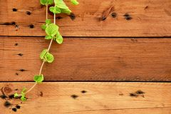 Viti sulle pareti di legno che cadono dal lato superiore sinistro Fondo di legno e della pianta della natura fotografia stock