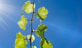 Viticoltura dell'uva contro il chiarore del sole e del cielo blu alto in cielo Fotografia Stock