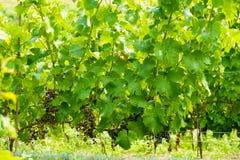 Viticoltura nelle file con la giovane uva di maturazione fotografia stock libera da diritti