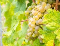Viticoltura in Riquewihr, Francia Fotografia Stock Libera da Diritti