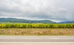Viticoltura in Riquewihr, Francia Immagini Stock Libere da Diritti