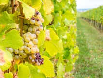 Viticoltura in Riquewihr, Francia Immagini Stock