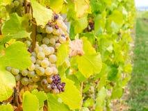 Viticoltura in Riquewihr, Francia Fotografia Stock