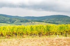 Viticoltura in Riquewihr, Francia Fotografie Stock