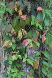 Viticoltura selvaggia sul tunk dell'albero fotografie stock libere da diritti