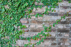 Viticoltura su un muro di mattoni Fotografie Stock Libere da Diritti