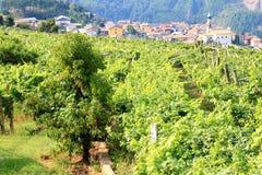 Viticoltura a Valle Cembra, dolomia italiane Fotografie Stock