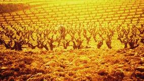 Viticulteur prenant soin d'un vignoble Images libres de droits