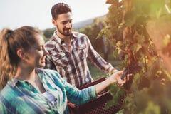 Viticulteurs moissonnant des raisins dans le vignoble Images libres de droits
