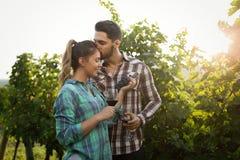 Viticulteurs moissonnant des raisins dans le vignoble Photos libres de droits