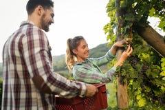 Viticulteurs moissonnant des raisins dans le vignoble Image libre de droits