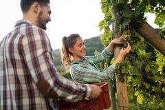 Viticulteurs moissonnant des raisins dans le vignoble Image stock