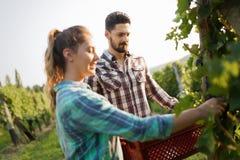 Viticulteurs moissonnant des raisins dans le vignoble Photographie stock libre de droits