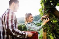 Viticulteurs moissonnant des raisins dans le vignoble Photo libre de droits
