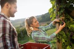 Viticulteurs moissonnant des raisins dans le vignoble Photographie stock