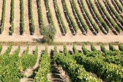 Viticultura en la región italiana de Toscana Imagenes de archivo