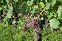 Viticultura/fundo do vinho Imagens de Stock