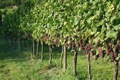 Viticultura/fundo do vinho Imagem de Stock Royalty Free