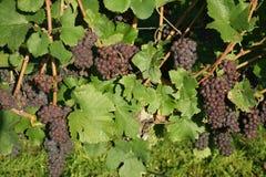 Viticultura/fundo do vinho Foto de Stock Royalty Free