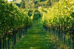 Viticultura/fundo do vinho Foto de Stock