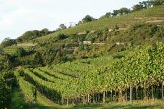 Viticultura/fundo do vinho Fotos de Stock Royalty Free