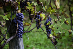 Viticulture Stock Image