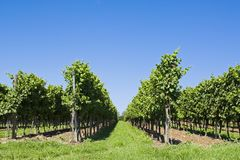 Viticulture. Symmetric photo of viticulture with a blue sky Stock Images