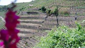 Viticulture en terrasse en Allemagne du sud Image libre de droits