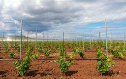 Viticulture with grape saplings Stock Image