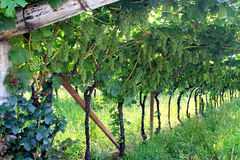Free Viticulture In The Province Of Trento, Italy Royalty Free Stock Photo - 14652815