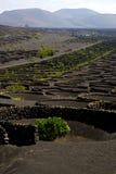 Viticulture lanzarote s wall crops cultivation. Viticulture winery lanzarote spain la geria vine grapes wall crops cultivation stock photo