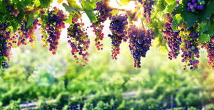 Viticulture The Sun That Ripens Royalty Free Stock Photography