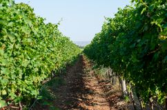 Viticulture. Vineyards rows. Rows of vineyard grape vines. Vineyard landscape Royalty Free Stock Photography