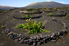Viticulture  winery lanzarote Stock Photography
