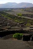 Viticulture winery wall crops cultivation. Viticulture winery lanzarote spain la geria vine grapes wall crops cultivation stock photos