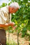 Viticulturist im Weinberg, der Traubengruppen betrachtet Stockbild