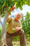 Viticulturist im Weinberg, der Traubengruppen betrachtet Stockfotografie